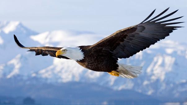 7016092-bald-eagle-in-flight-alaska