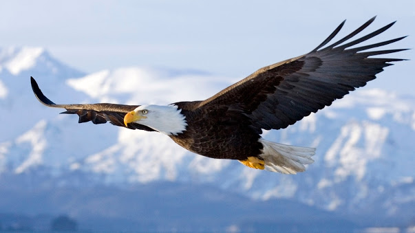 7016092-bald-eagle-in-flight-alaska
