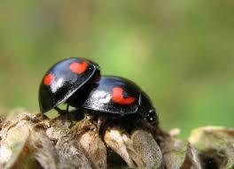 ladybughearts