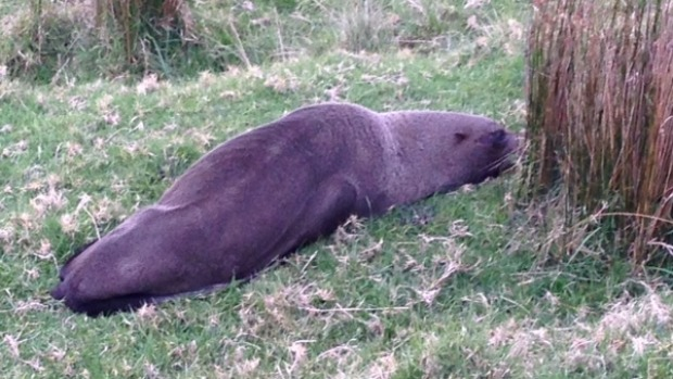 seal Helensville 5th august 2015