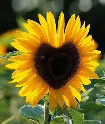 heartsunflower