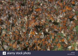 Image result for MASS BUTTERFLIES
